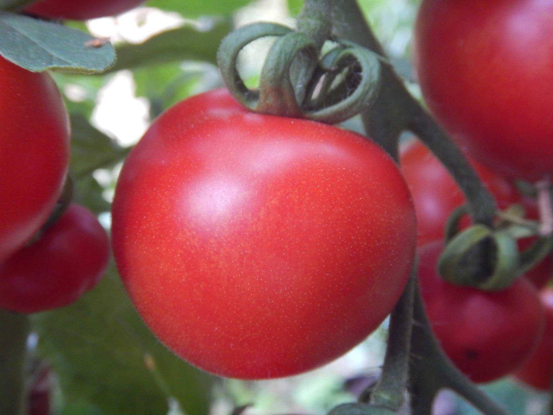 haubners vollendung rote runde tomate alte deutsche sorte. Black Bedroom Furniture Sets. Home Design Ideas