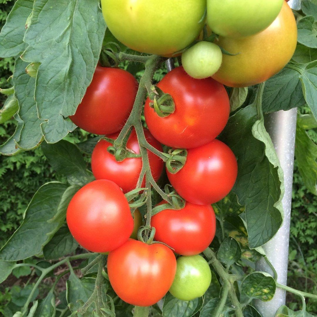 beymes erntesegen rote tomate alte ddr sorte. Black Bedroom Furniture Sets. Home Design Ideas