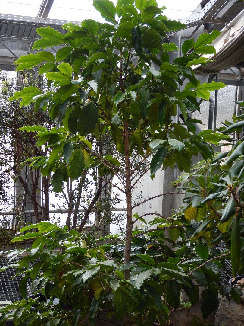 kaffeestrauch coffea arabica kaffeebaum heilpflanze k belpflanze. Black Bedroom Furniture Sets. Home Design Ideas