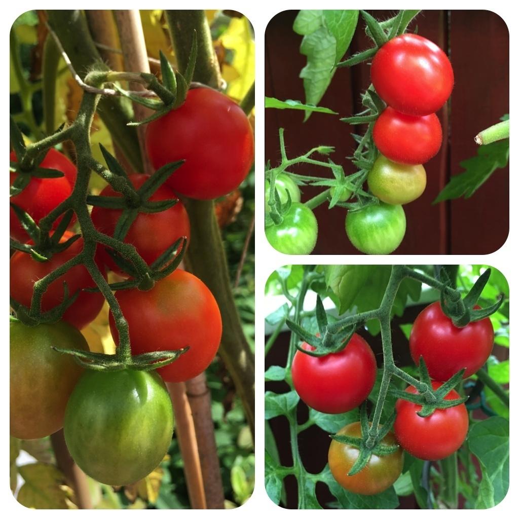 rosii marunte rote tomate massentr ger fr h reifend freiland. Black Bedroom Furniture Sets. Home Design Ideas
