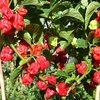 Dorset Naga Red rote Chilli Massenträger Chili aus England