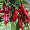 Doux Long des Landes rote Chili aus Frankreich Piment d/'Anglet milde Chilli