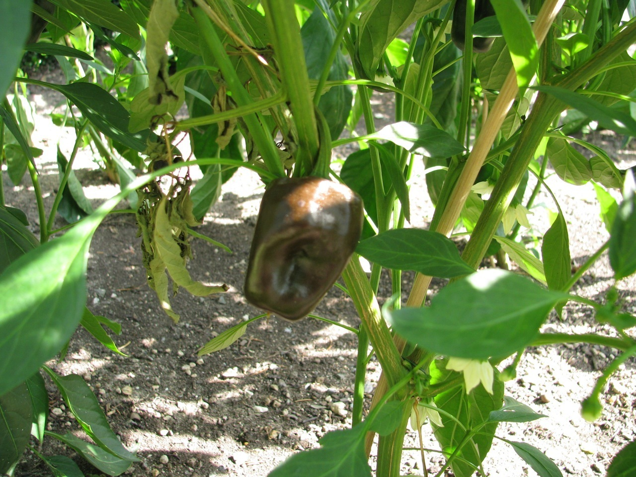 Chilhuacle Negro milde Chilli rauchige Chili aus Mexiko für Mole