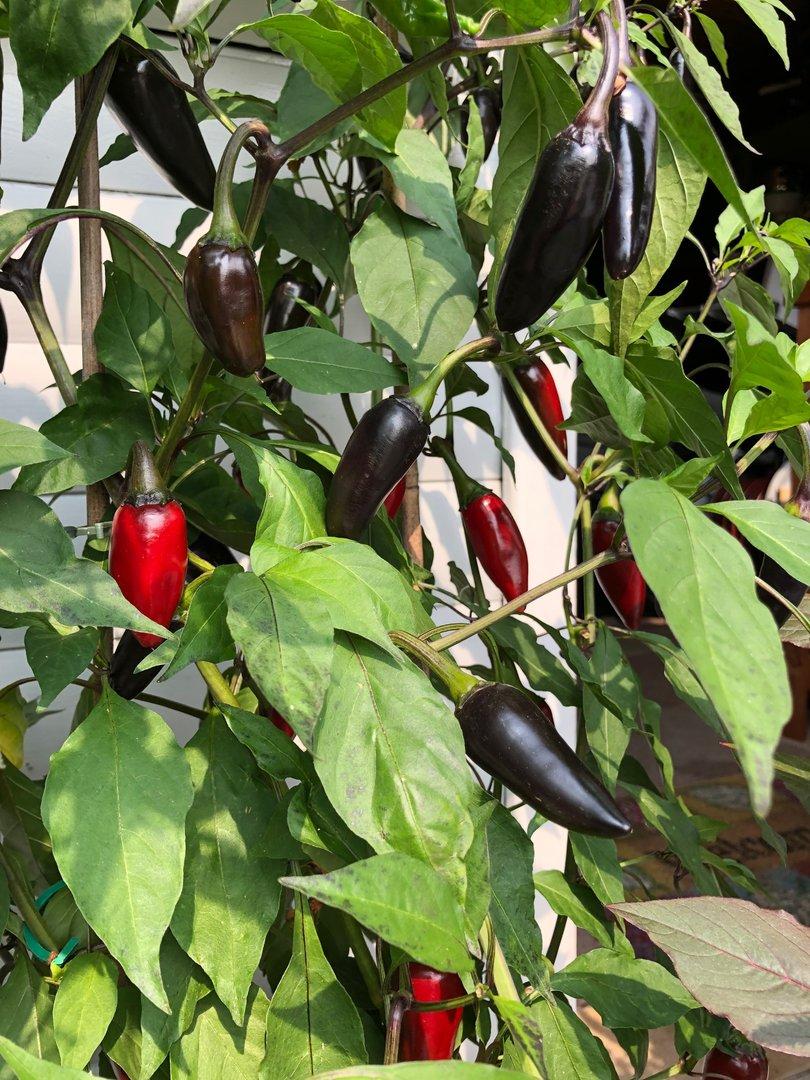 Hungarian Black Schwarze Chilli Ungarische Chili ganz milde Schärfe