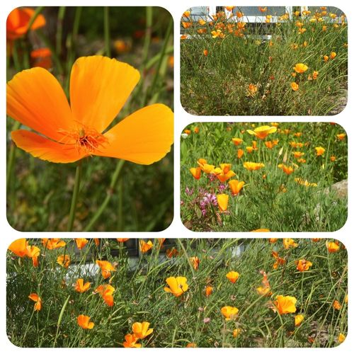 Kalifornischer Mohn Eschscholzia californica