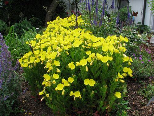 nachtkerze oenothera biennis bienenweide r ucherpflanze. Black Bedroom Furniture Sets. Home Design Ideas