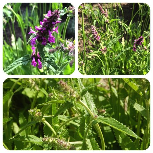 Echter Ziest Stachys officinalis