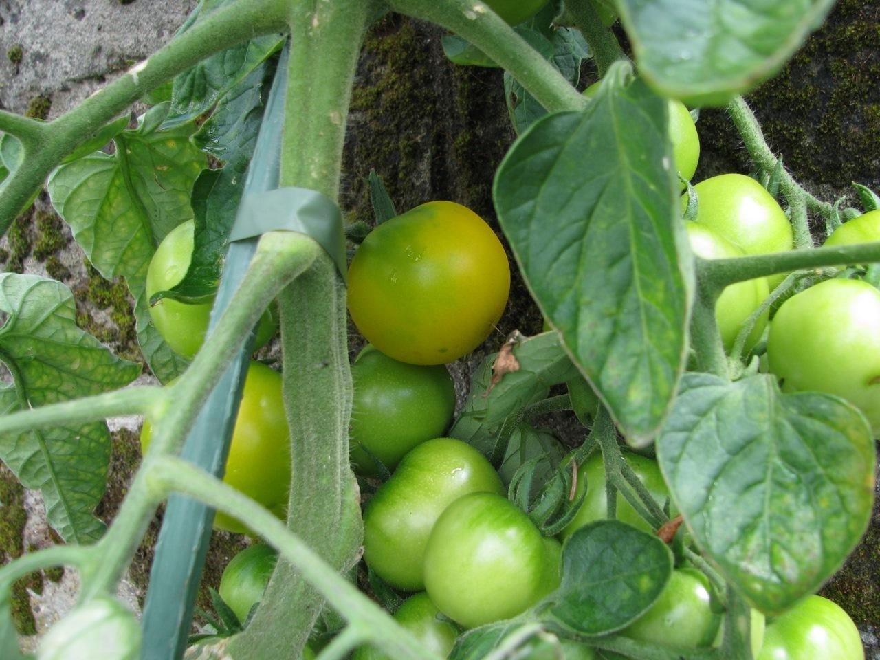 Blondköpfchen gold-gelbe Tomate sehr ertragreich hocharomatisch