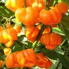 Scotch Bonnet Trinidad Orange