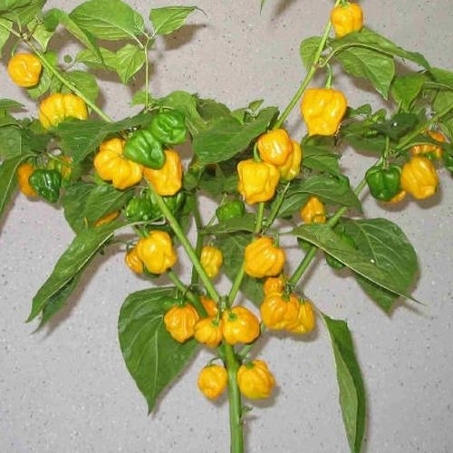 Trinidad Scorpion Moruga yellow