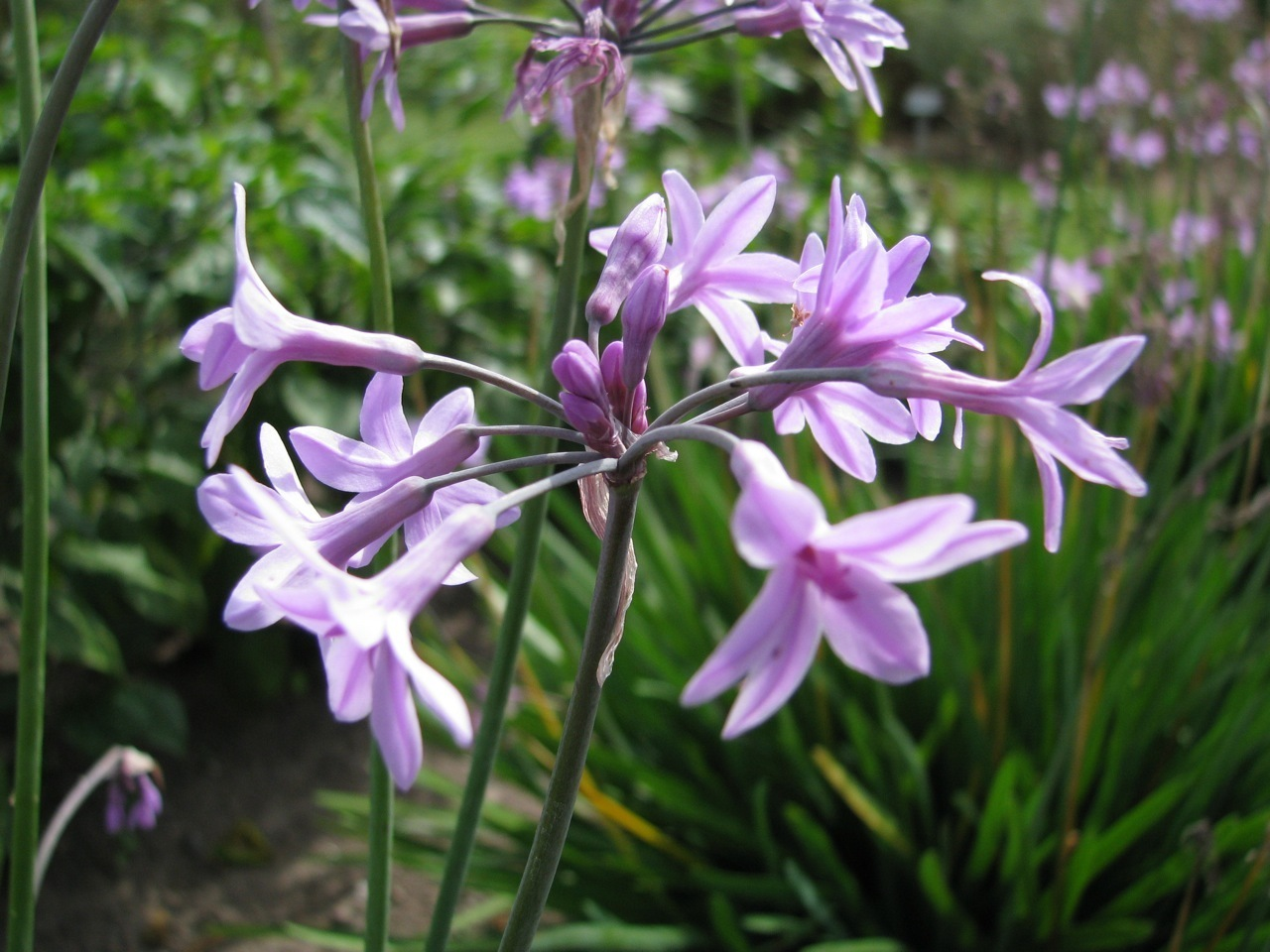 Zimmerknoblauch Tulbaghia violacea Knobiflirt Knoblauchs-Kaplilie Gewürz