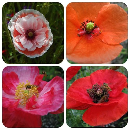Mohn Prachtmischung Papaver orientale