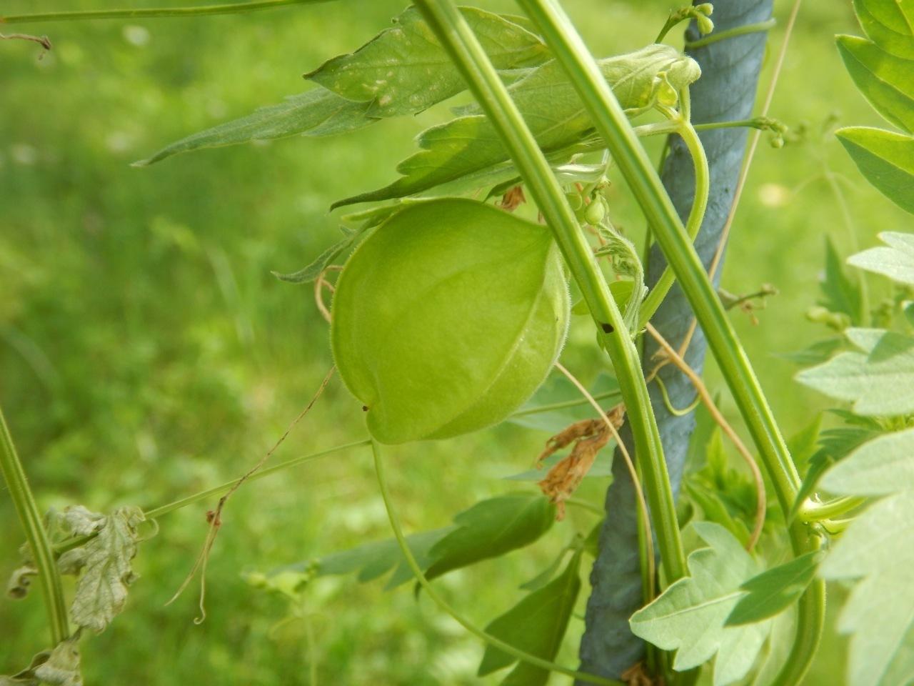 Ballonrebe indische Schlingpflanze Mönchsköpfchen Kanphuti Ballonwein Herzsame