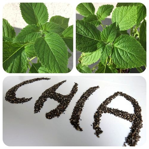 Chia Salvia hispanica