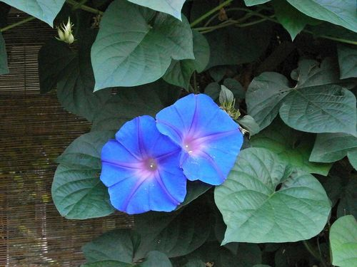 Trichterwinde Morning Glory Ipomoea tricolor
