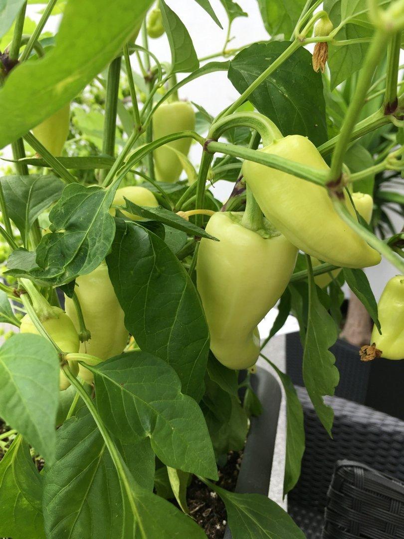 15 Paprika Samen Ungarische weiße Paprika süße ertagreiche Sorte