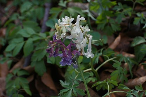 Lerchensporn Corydalis solida