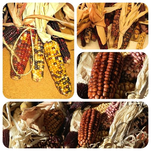 Bunter Mais Indian Berries Zea mays