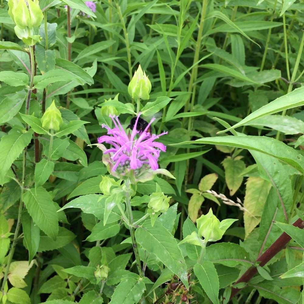 Oswegokraut Monarda fistulosa Gewürzpflanze Teepflanze Heilpflanze Bienenweide
